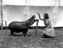 Image of CWi 1140 - Hippopotamus
