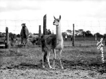 Image of CWi 1145 - Llama