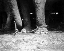 Image of CWi 565 - Feet of Elephant
