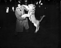 Image of CWi 5 - Clyde Beatty playing with young lion in public.