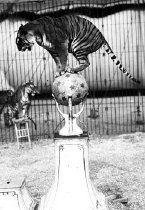 "Image of CWi 24 - Rudolph Matthies. ""The 7 Terribles."" Tiger poised upon elevated globe."