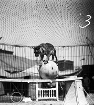"Image of CWi 26 - Rudolph Matthies. ""The 7 Terribles."" Tiger balanced upon ball that is on plank suspended between pedestals, in arena."