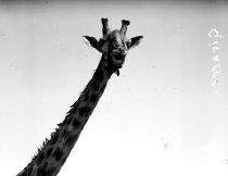 Image of CWi 1073 - Giraffe