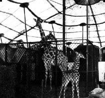 Image of CWi 1075 - Giraffes