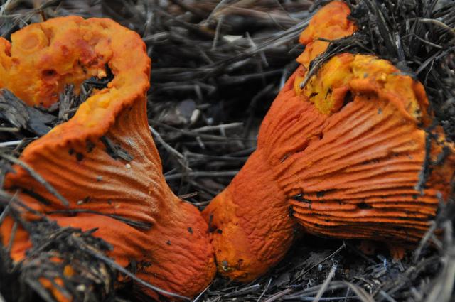 hongos colorados patamban