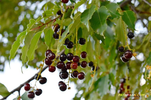Recolectando cerezas en las cercanias