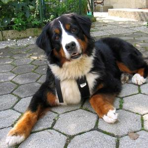 Full grown bernese mountain dog