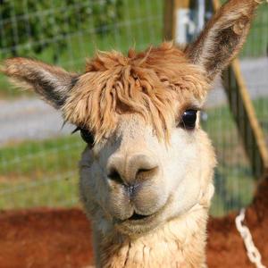 Suri alpaca number 7 paula tohline calhoun
