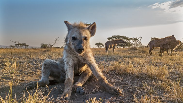 Industry Interview with John Downer of Discovery's SERENGETI — Hyena in SERENGETI