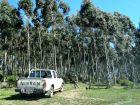 Comienza monte de pinos y eucaliptos