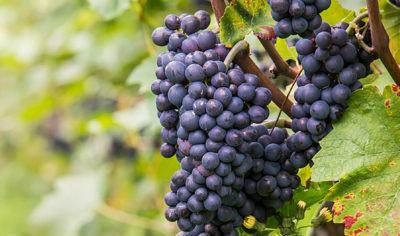 Heirloom Grapes
