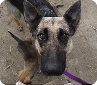 German Shepherd Dog Dog for adoption in Clinton, Maine - Momma