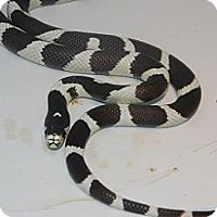 Snake for adoption in Brooklyn, New York - California King Snake
