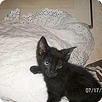 Domestic Shorthair Cat for adoption in Palm Springs, California - 10 reasons to pick a black kit