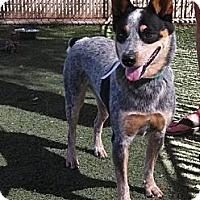 Adopt A Pet :: Arya - Phoenix, AZ