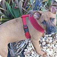 Adopt A Pet :: Juliette Hope - Miami, FL