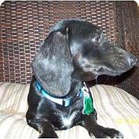 Adopt A Pet :: Sampson - Andrews, TX