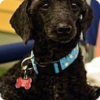 Adopt A Pet :: Enzo - Bridgeton, MO