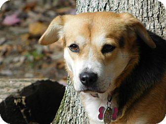 Beagle/Spaniel (Unknown Type) Mix Dog for adoption in Millerstown, Pennsylvania - FRANKIE