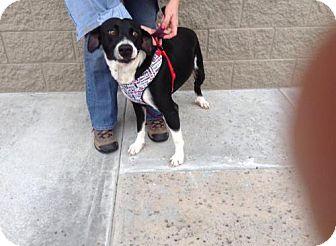Border Collie/Labrador Retriever Mix Dog for adoption in Wauchula, Florida - Nicholas