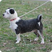 Adopt A Pet :: Hollie - Bowie, MD