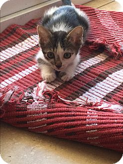 Domestic Shorthair Kitten for adoption in Palm Springs, California - Tammy Tam Tam