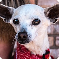 Chihuahua/Italian Greyhound Mix Dog for adoption in San Marcos, California - Blondie