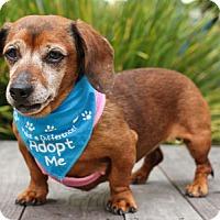 Adopt A Pet :: Honey Boo Boo - Pacific Grove, CA