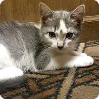 Adopt A Pet :: Munchkin - Brattleboro, VT