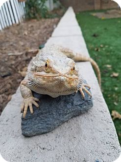 Lizard for adoption in Santa Clarita, California - Brute