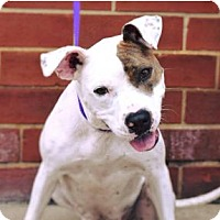 American Staffordshire Terrier/Pit Bull Terrier Mix Dog for adoption in Mooresville, North Carolina - Sky