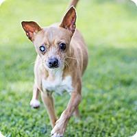 Adopt A Pet :: Brutus - Oakland, CA