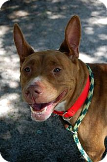 Pit Bull Terrier Mix Dog for adoption in Bradenton, Florida - Evie