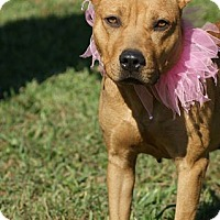 Staffordshire Bull Terrier/Labrador Retriever Mix Dog for adoption in Kinston, North Carolina - Raven