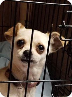 Chihuahua/Pug Mix Dog for adoption in Gustine, California - LIZA