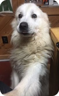 Great Pyrenees Dog for adoption in Averill Park, New York - LENA