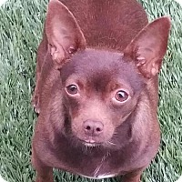 Adopt A Pet :: Fig - Happy Chihuahua Girl - Seattle, WA