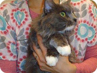 Domestic Longhair Cat for adoption in Wildomar, California - Sophie
