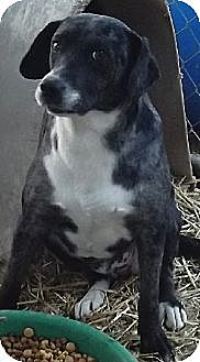 Blue Heeler Mix Dog for adoption in Savannah, Missouri - Buddy Blue