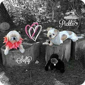 Shih Tzu/Silky Terrier Mix Dog for adoption in Seattle, Washington - Softy BLIND pls read descripti