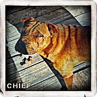 Adopt A Pet :: Chief - Fayette, MO