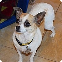 Chihuahua Mix Dog for adoption in Mesa, Arizona - Priscilla