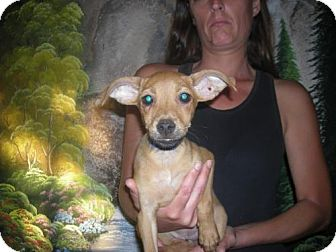 Terrier (Unknown Type, Medium)/Chihuahua Mix Puppy for adoption in Moreno Valley, California - the 4th