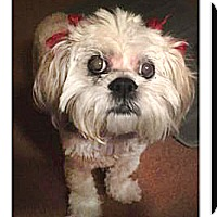 Terrier (Unknown Type, Small) Mix Dog for adoption in Vista, California - Sandy