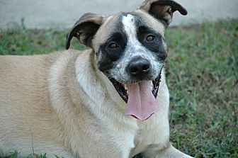Akita/Shepherd (Unknown Type) Mix Dog for adoption in Lawrenceville, Georgia - Max