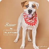 Adopt A Pet :: Bauer - Houston, TX