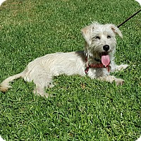 Terrier (Unknown Type, Small) Mix Dog for adoption in Thousand Oaks, California - Addie
