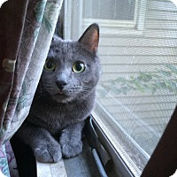 Russian Blue Cat for adoption in Aurora, Illinois - Allie