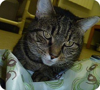 Domestic Shorthair Cat for adoption in Hamburg, New York - Cinnamon Stix