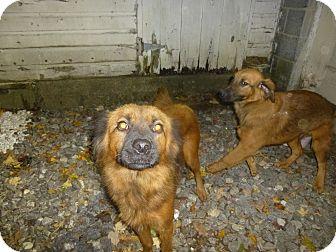 Shepherd (Unknown Type)/Labrador Retriever Mix Dog for adoption in Glastonbury, Connecticut - Aramiss
